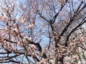円山公園 SAKURA
